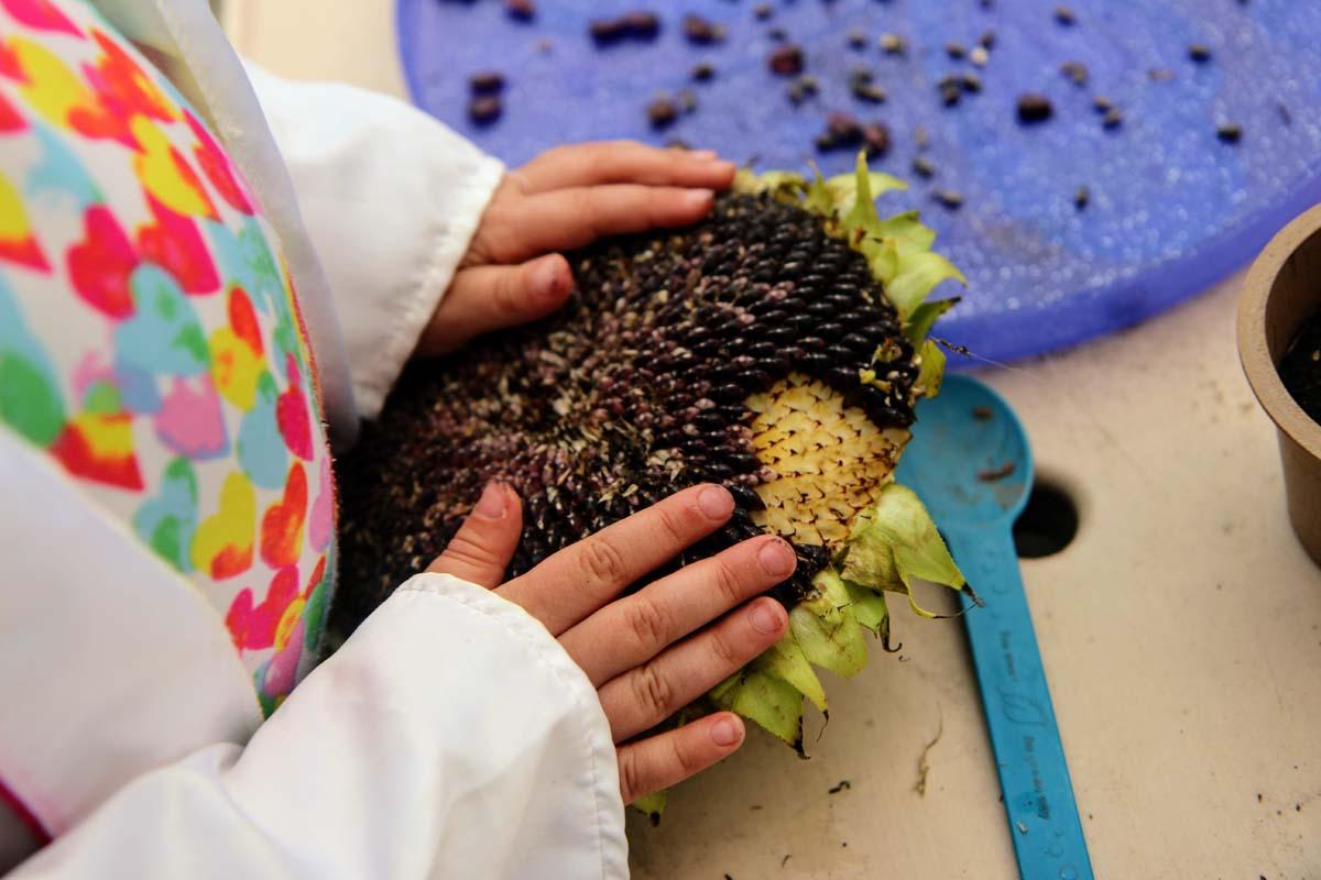 Kids Hands Harvesting Sunflower Seeds