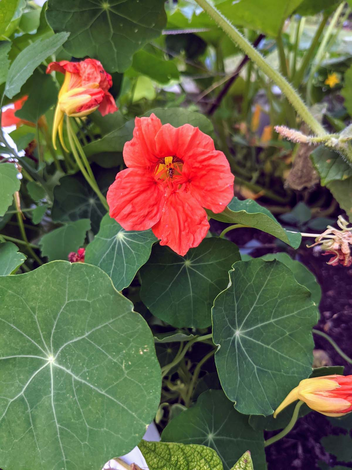 Nasturtium - Things to Plant in August in Pennsylvania Zone 6B