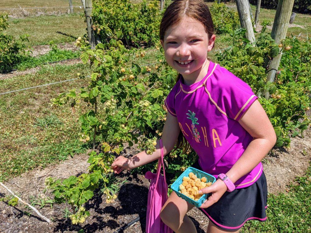 Little girl wearing purple picks golden raspberries, holding a container