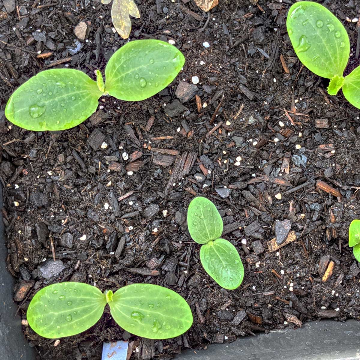 Things to Plant in August - Squash and Zucchini