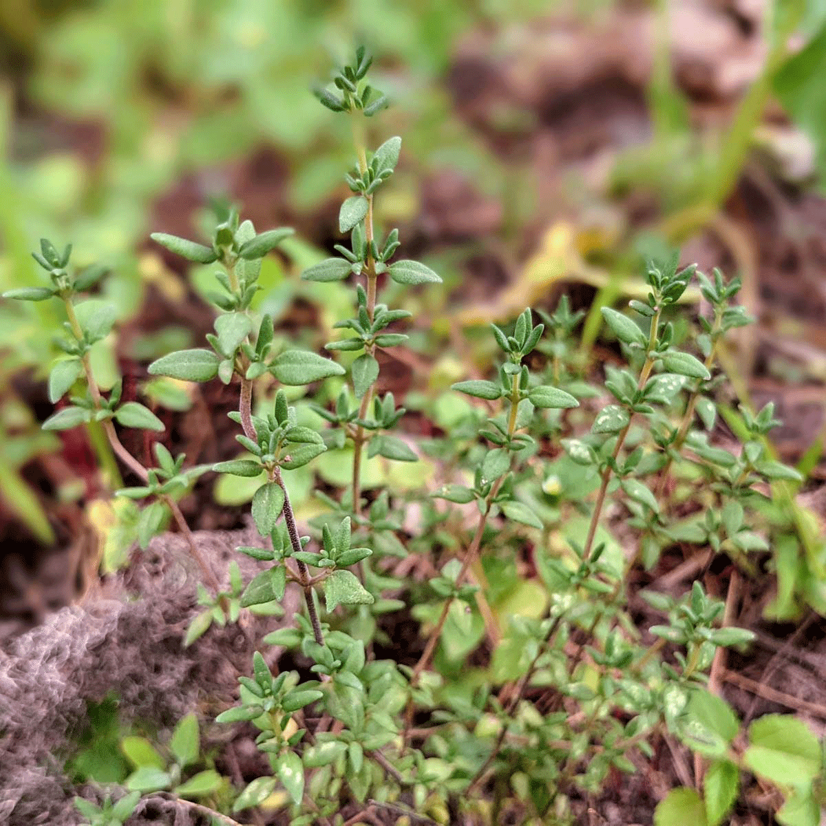 Growing Thyme for Cooking - with a list of Thyme Substitute Ideas