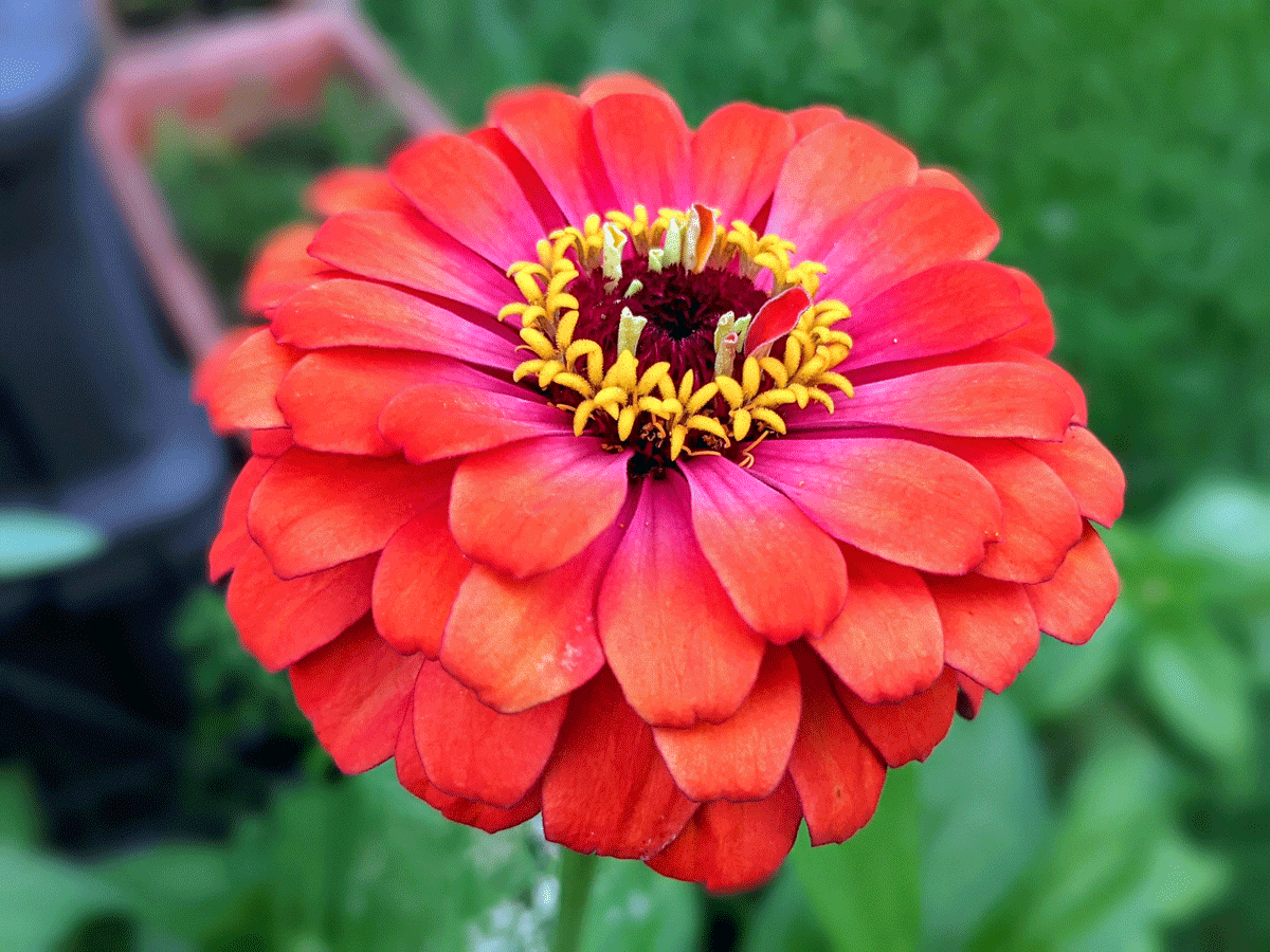 Flowers to Plant in August - Zinnias