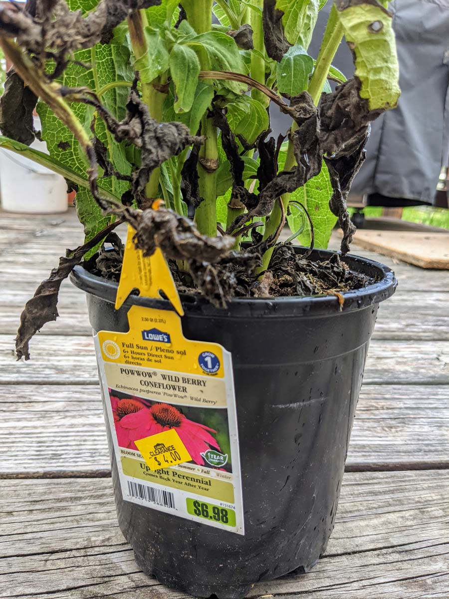 Rescue Plant - Wild Berry Coneflower from Lowes for $4
