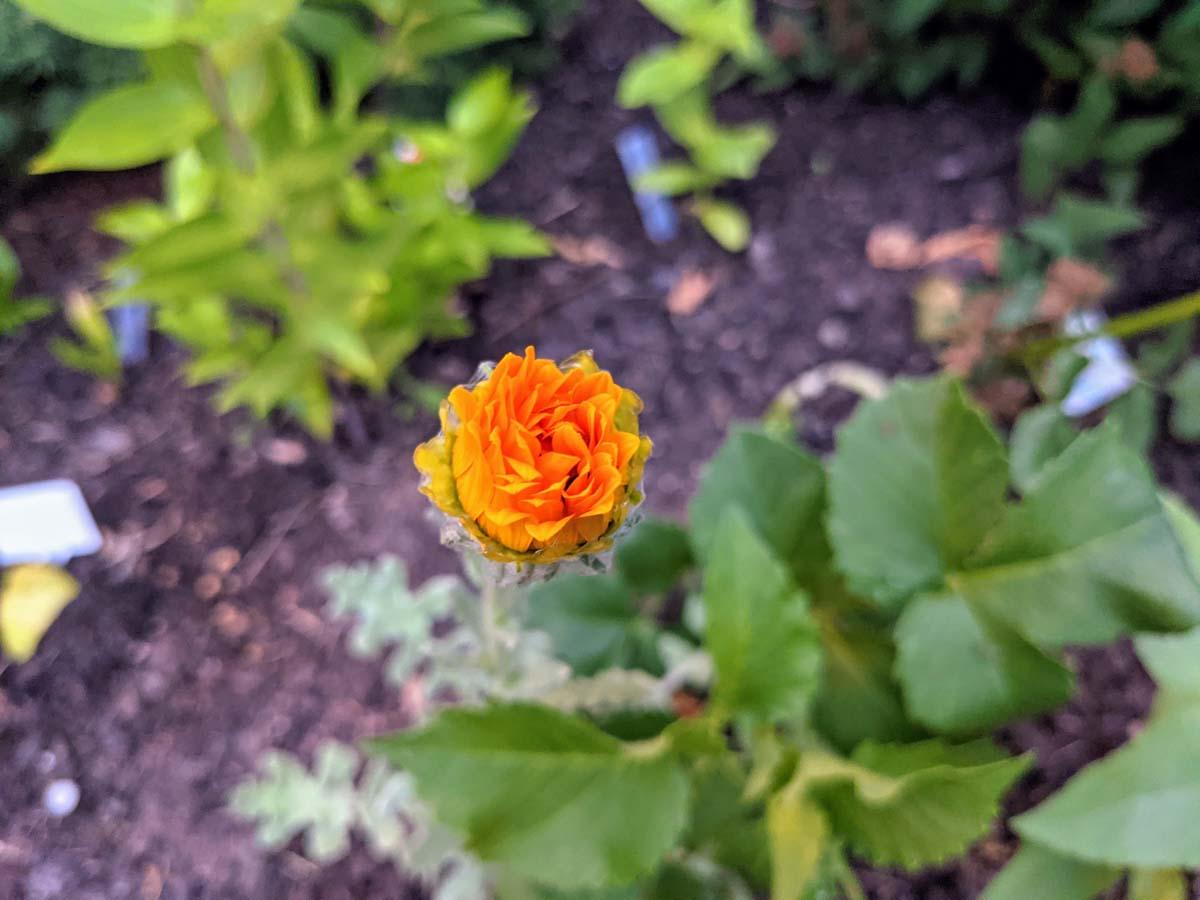 Yellow Cape Daisy Closed Blossom