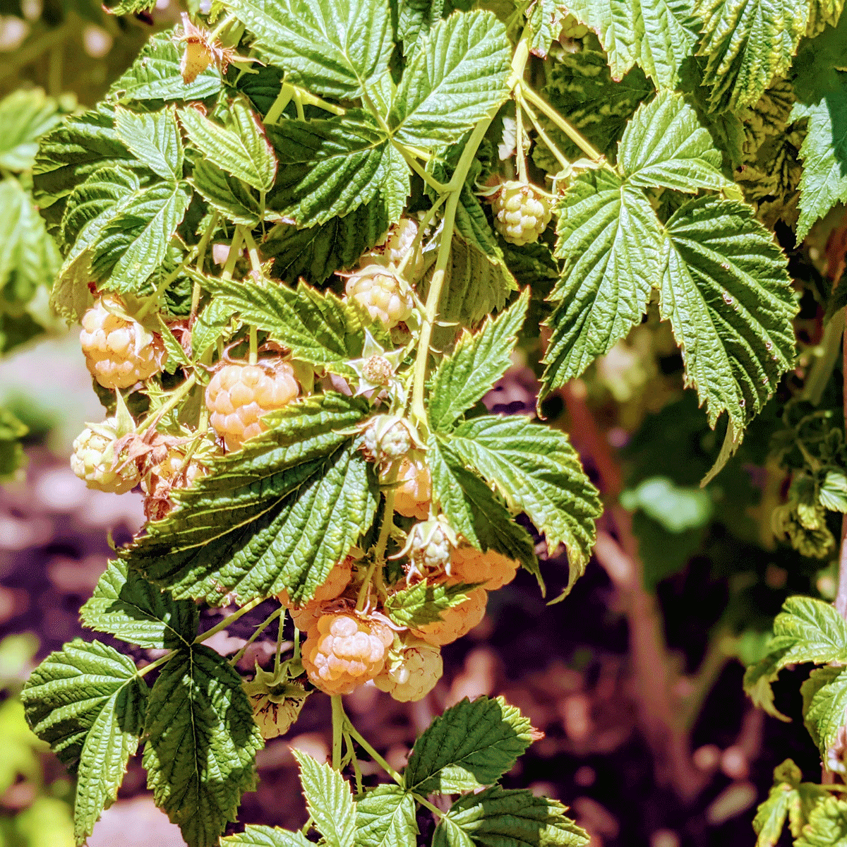 Yellow Raspberries | Planting, Picking and Growing Tips