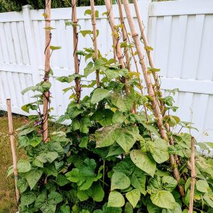 How to Make a Pole Bean Teepee with Bamboo