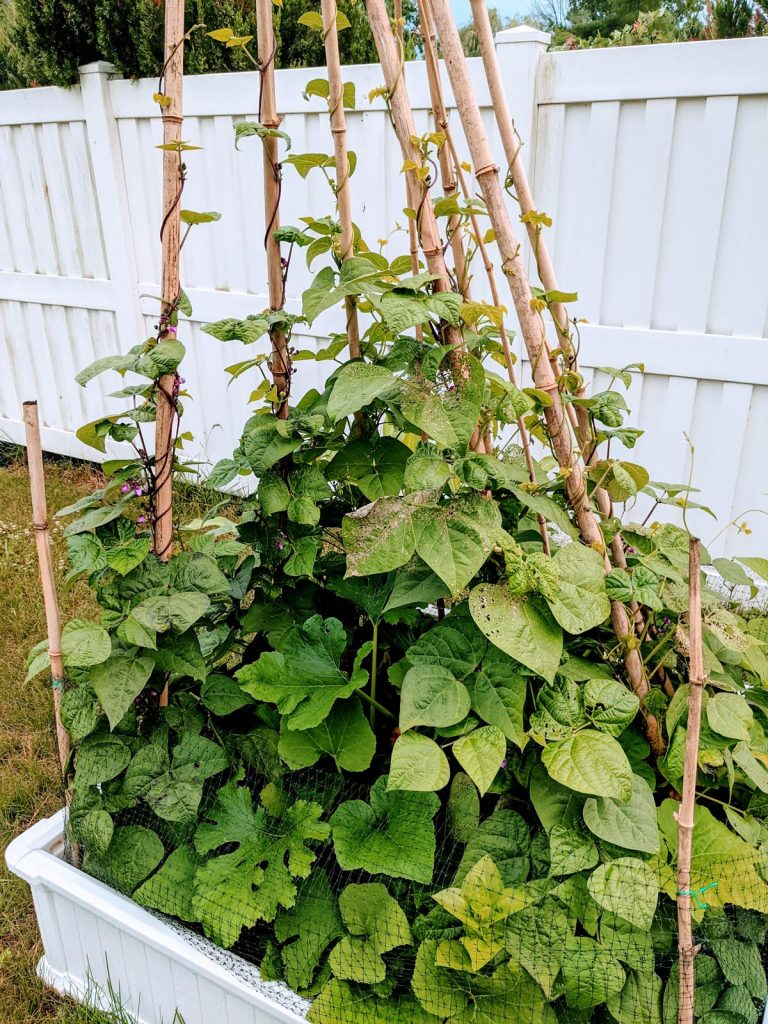 Pole Bean Teepee Trellis with bamboo poles by a white fence