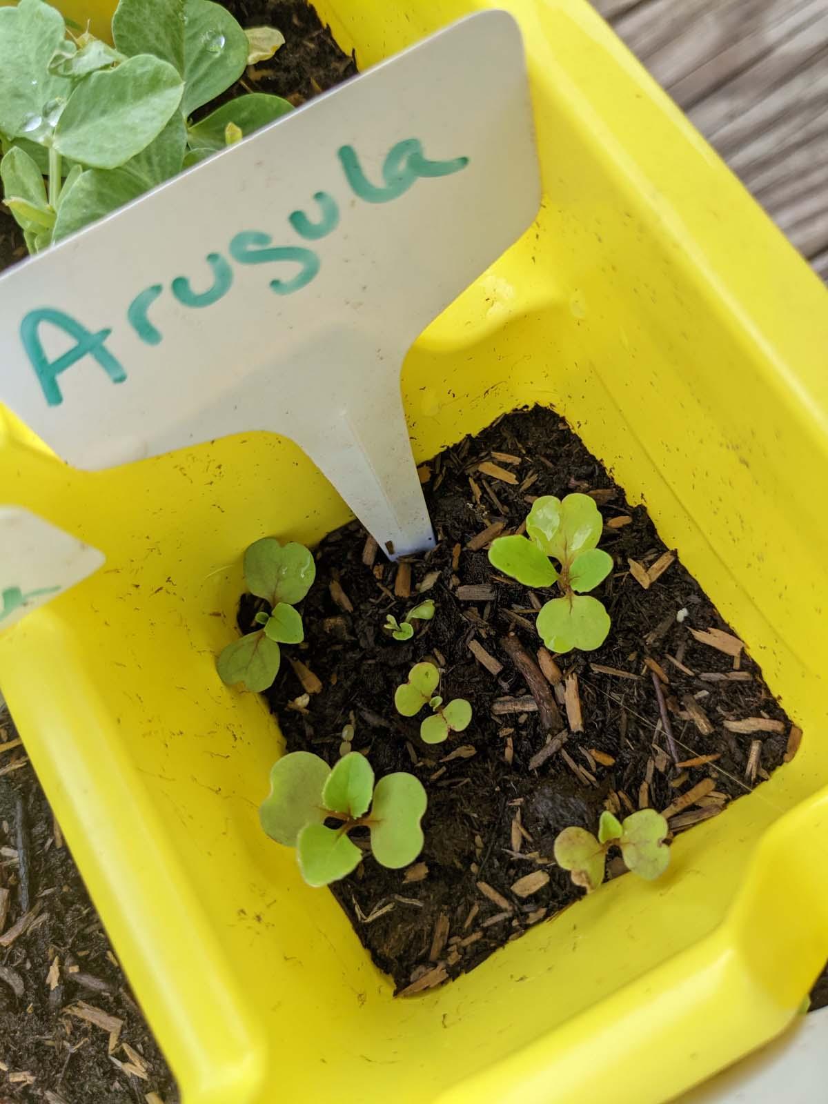 Arugula Seedlings - What to Plant in September