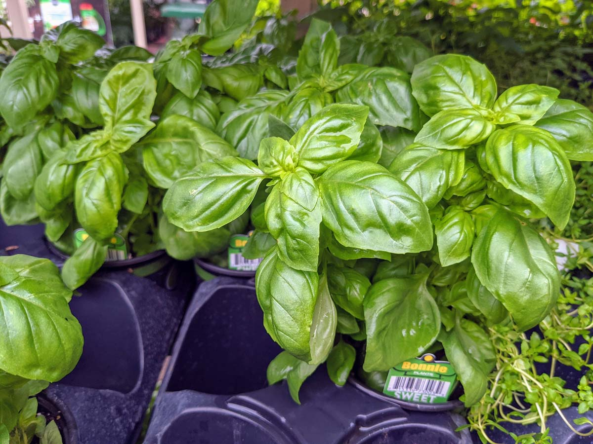 Sweet Basil - What to grow in September