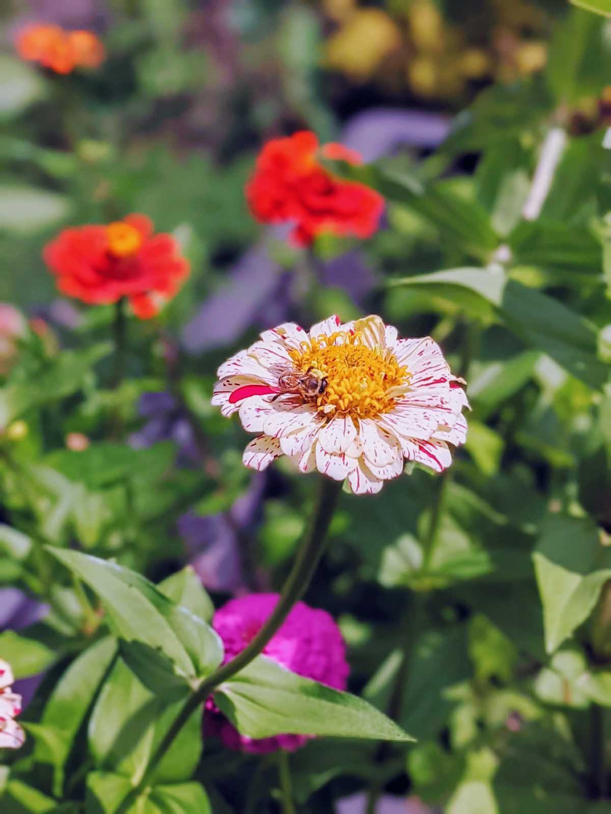 Pollinator friendly zinnias are great in the vegetable garden! Here's a bee on a peppermint stick zinnia.