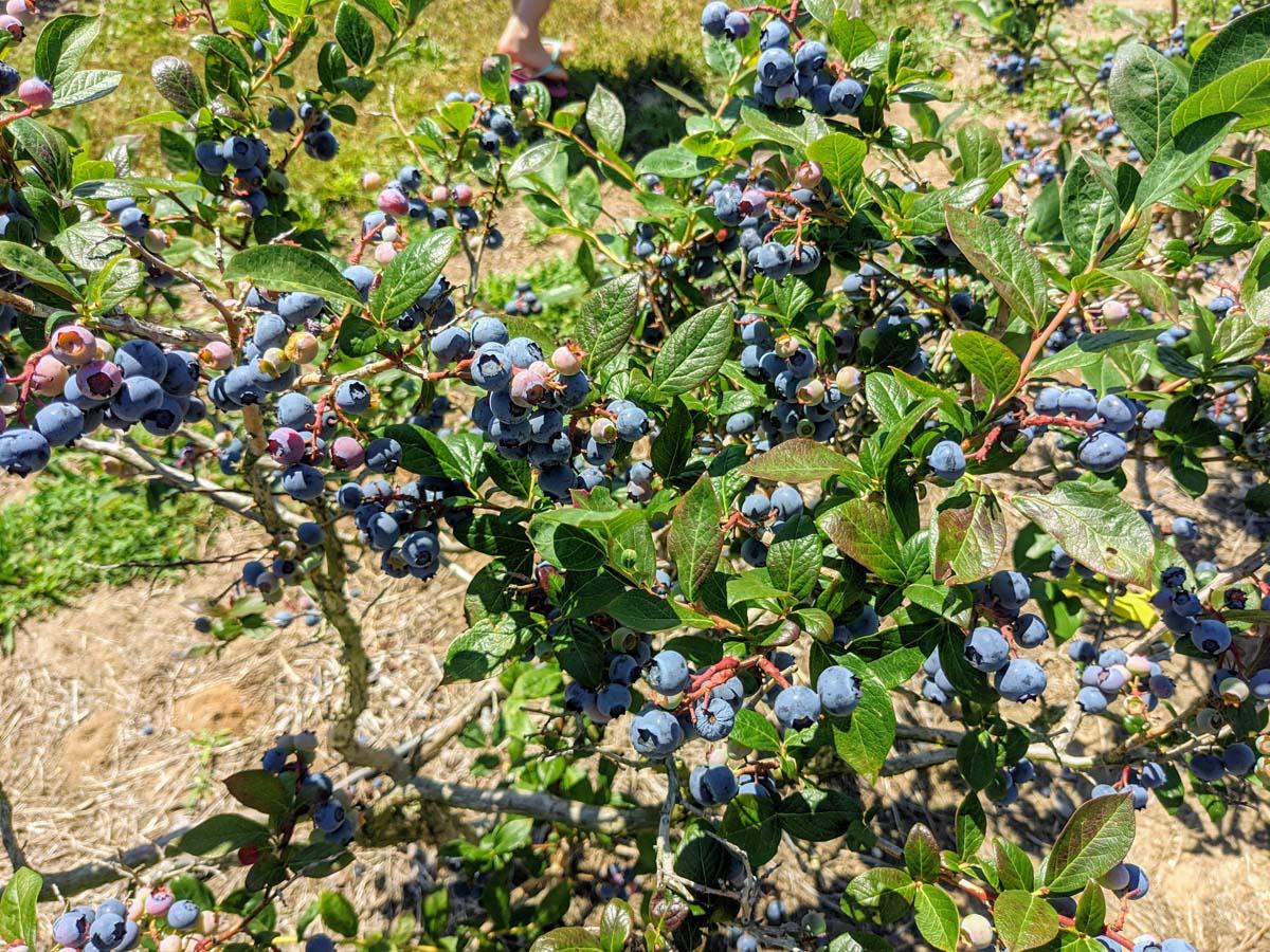 Blueberry Bushes are Acid Loving Plants!