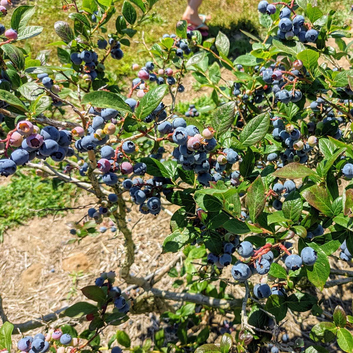 Acid Loving Plants List   47 Plants That Like Acidic Soil