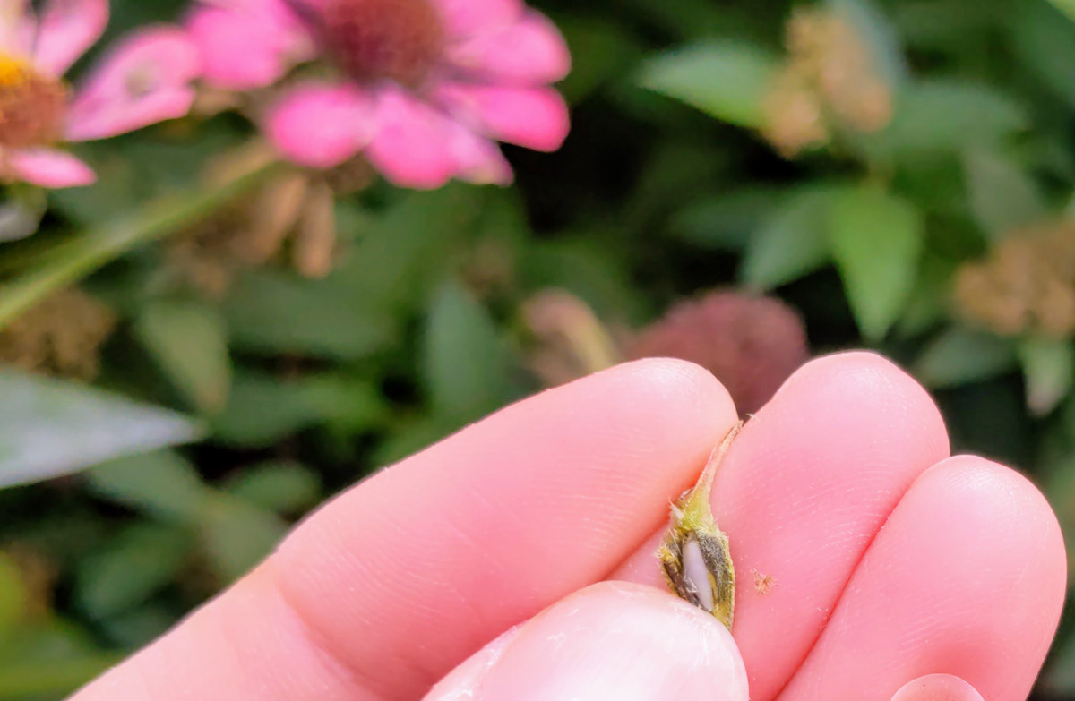 Viable Green Zinnia Seed with Embryo (white nut looking seed)