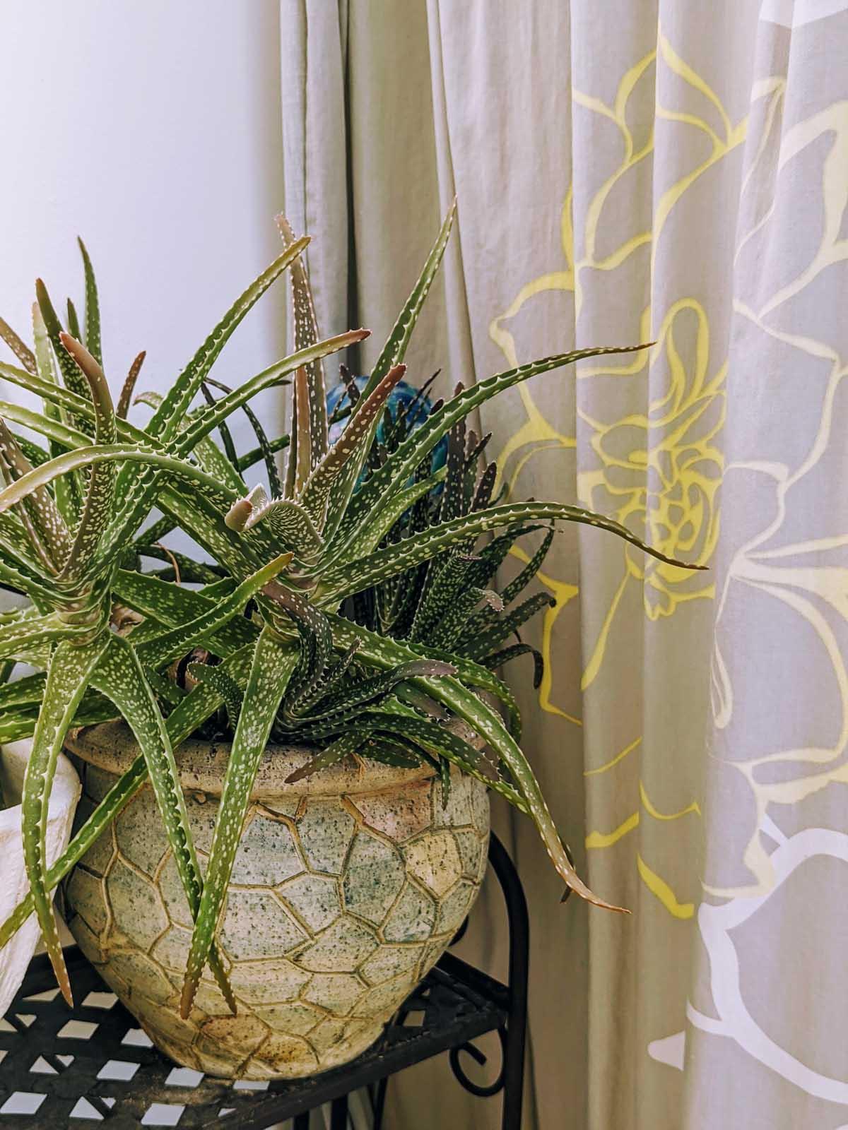 Growing Aloe Indoors Next to the Bathtub