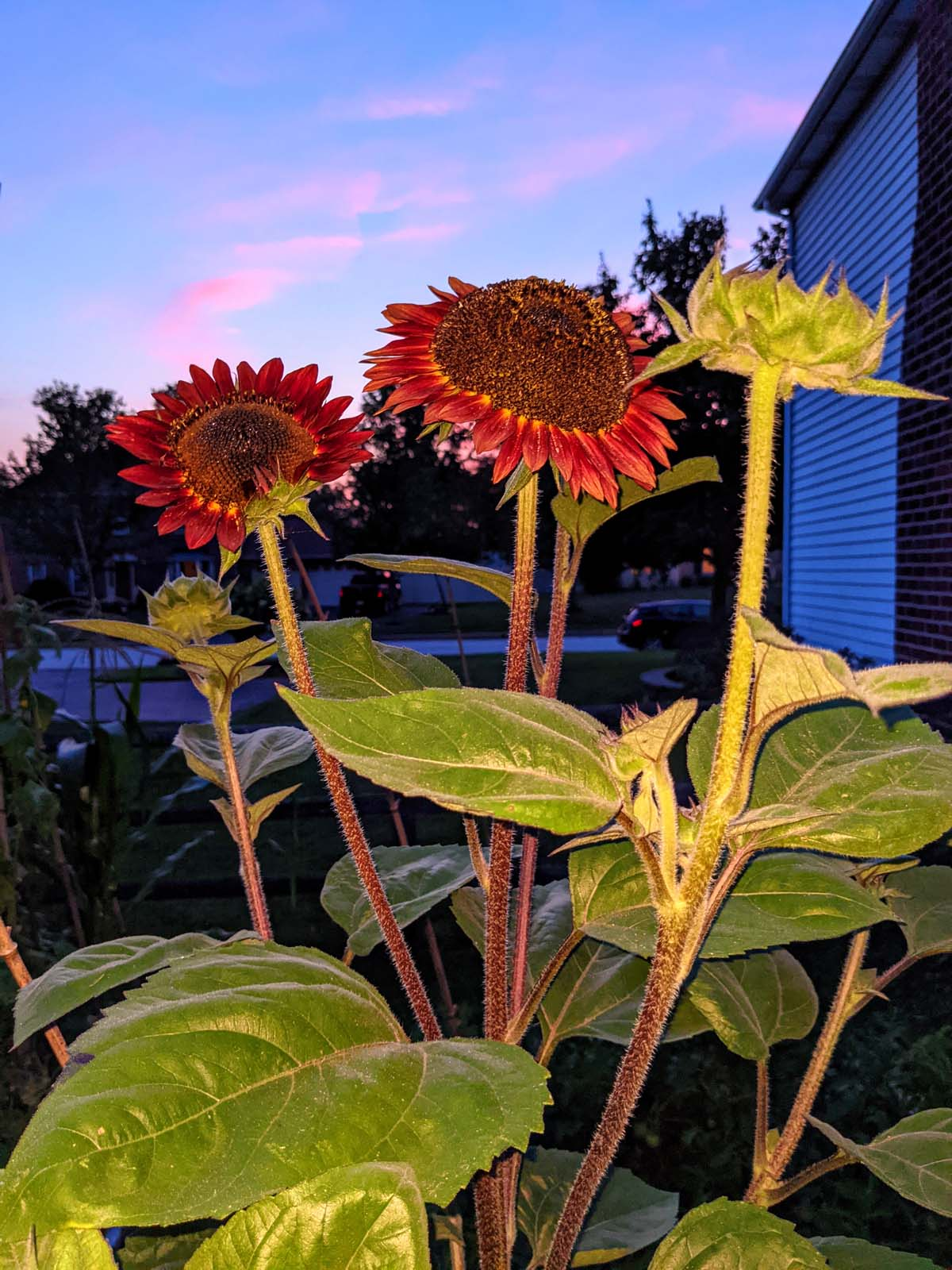 Growing Red Sunflowers - Sunset background with pink and blue sky