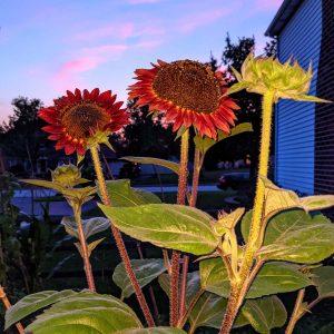 Growing Red Sunflowers | Eternal Summer Beauty