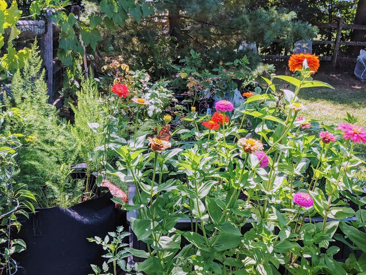 Growing Zinnias in Veggie Garden Next to Tomato, Asparagus, Raspberries and Chamomile