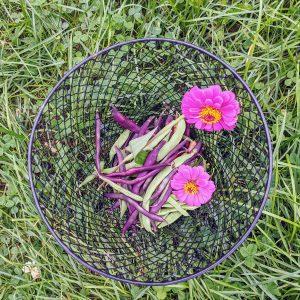 Growing Zinnias in Vegetable Garden Spaces
