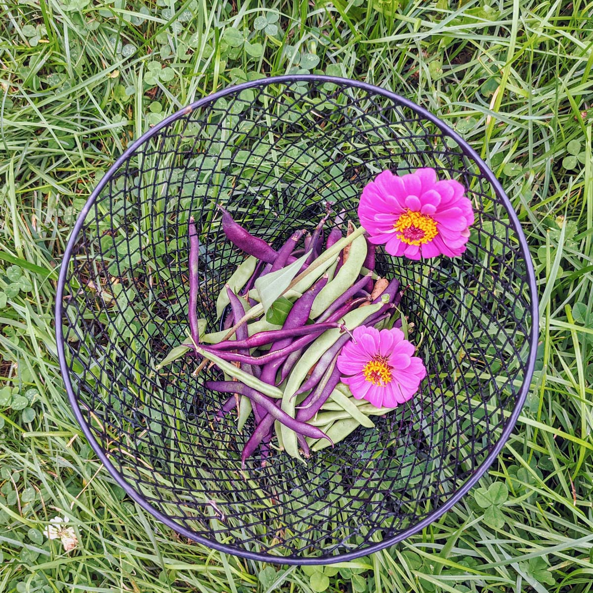 Growing Zinnias in Vegetable Garden is a lovely and useful companion planting - basket of beans and purple zinnia flowers
