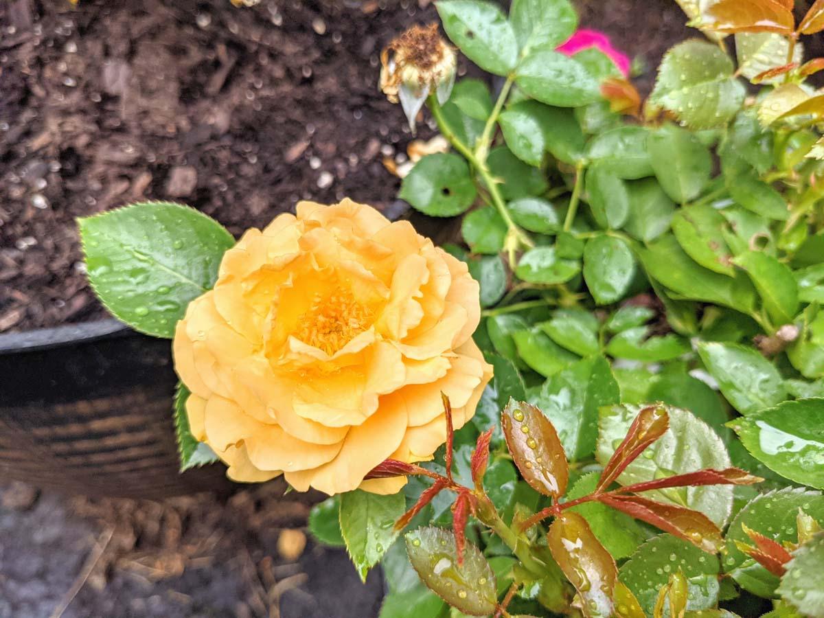 Julia Child Yellow Roses - Plants That Like Acidic Soil