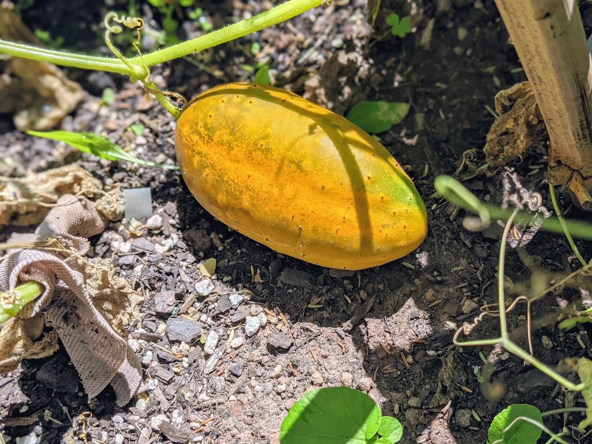 Overripe Orange Yellow Cucumber in a Garden, Going to Seed