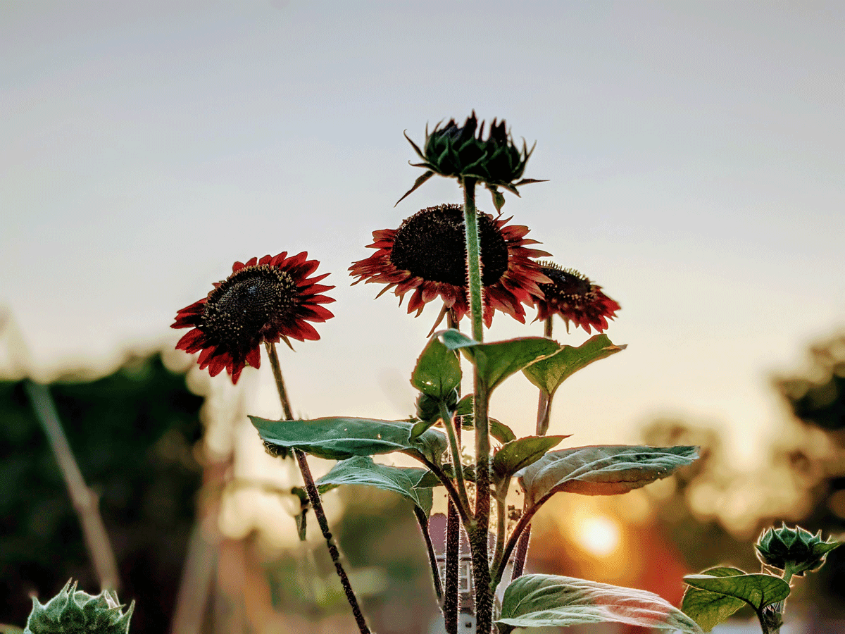 Growing Red Sunflowers at Sunset