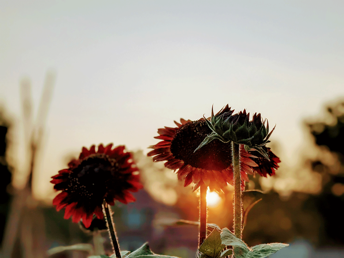 Red Sunflowers Blooming in the Garden at Sunset Golden Hour