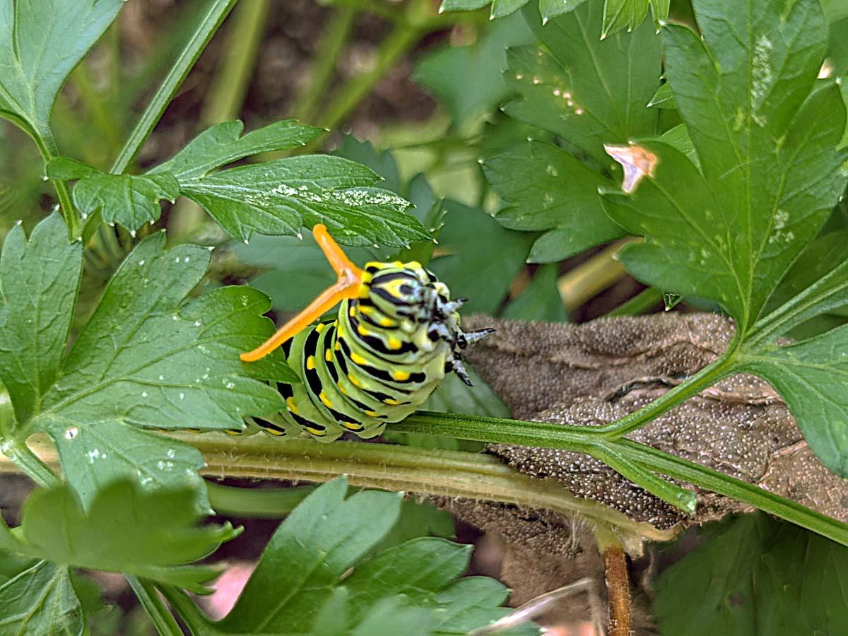 Swallowtail Caterpillar Orange Horns Sticking Out