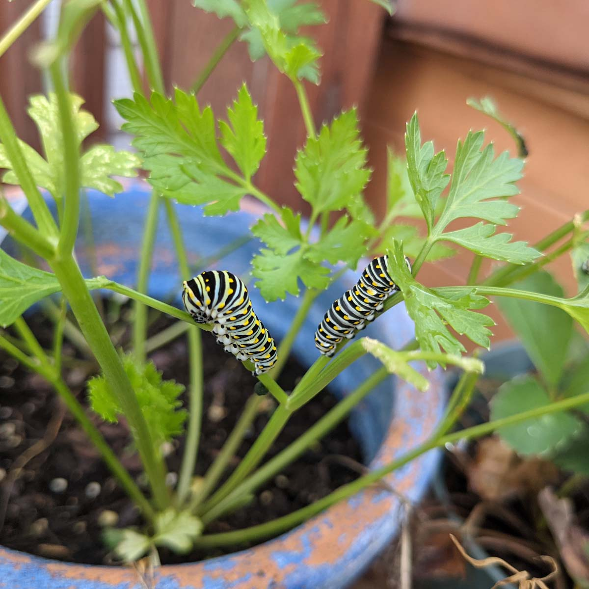 Swallowtail Caterpillar and another one on parsley in a ceramic pot