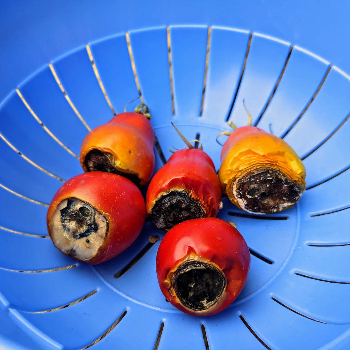 Tomatoes Black on Bottom | Understanding Tomato Rot