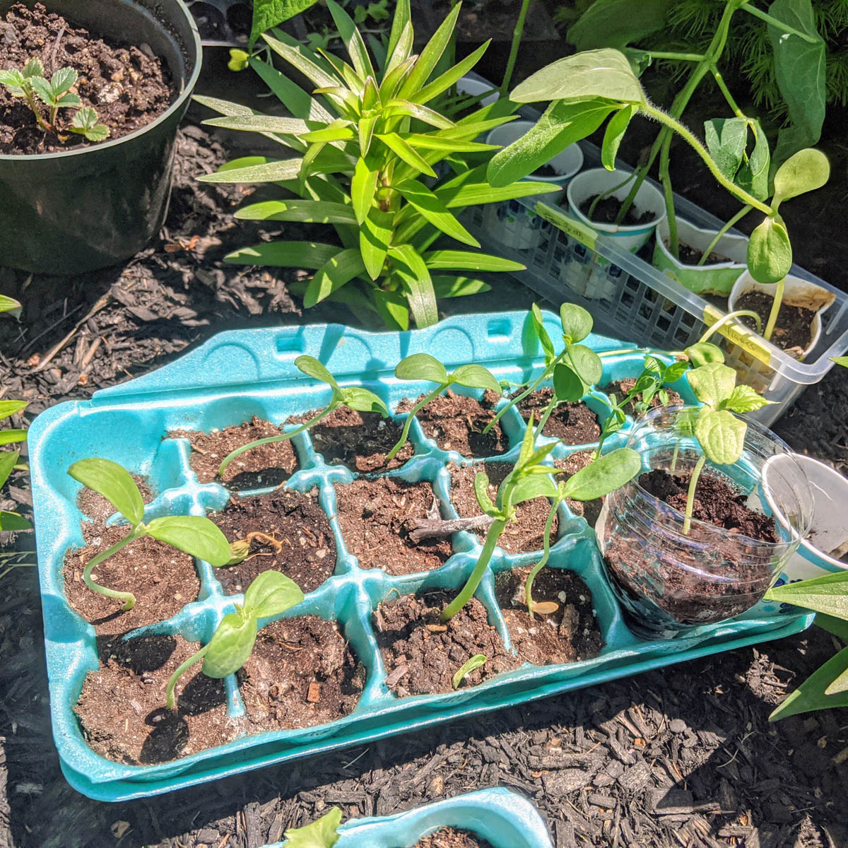 Underwatered plants in an egg carton show lighter colored soil