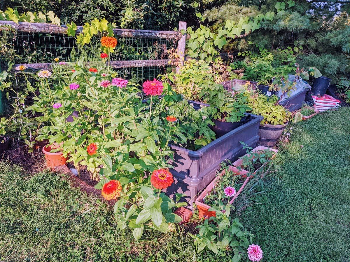 Where to Plant Zinnias in Vegetable Garden - I made a border!