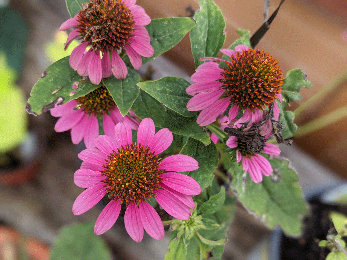 Wildberry Coneflower Echinacea - Plant Perennials in October for Next Year!