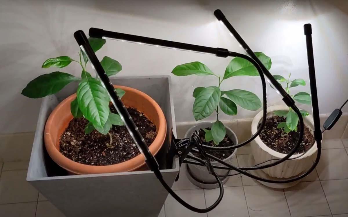 Overwintering Lemon Trees Indoors with Grow Lights