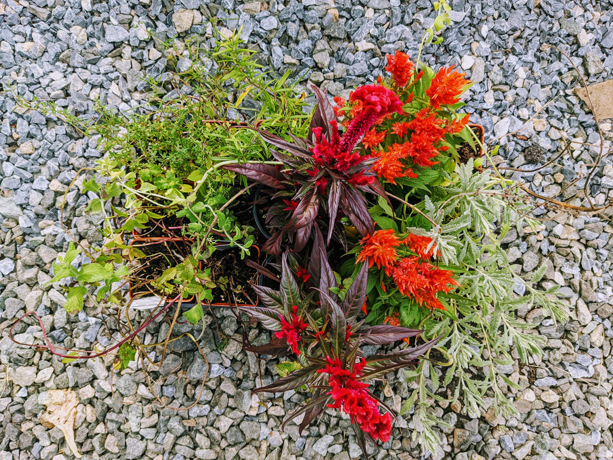 Agway Clearance Plants - Herbs, Rosemary, Mint, Celosia and more