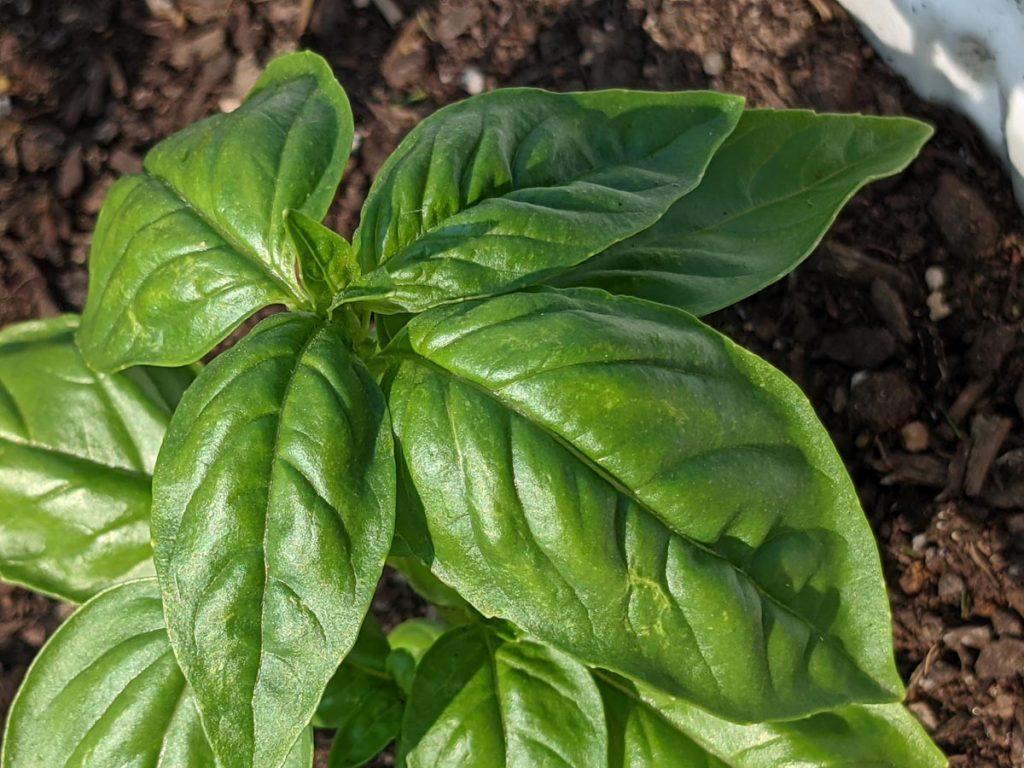 Basil Substitute Ideas - Fresh Basil Growing