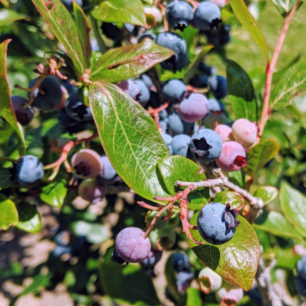 Blueberry bush at a farm - Blueberry Companion Plants