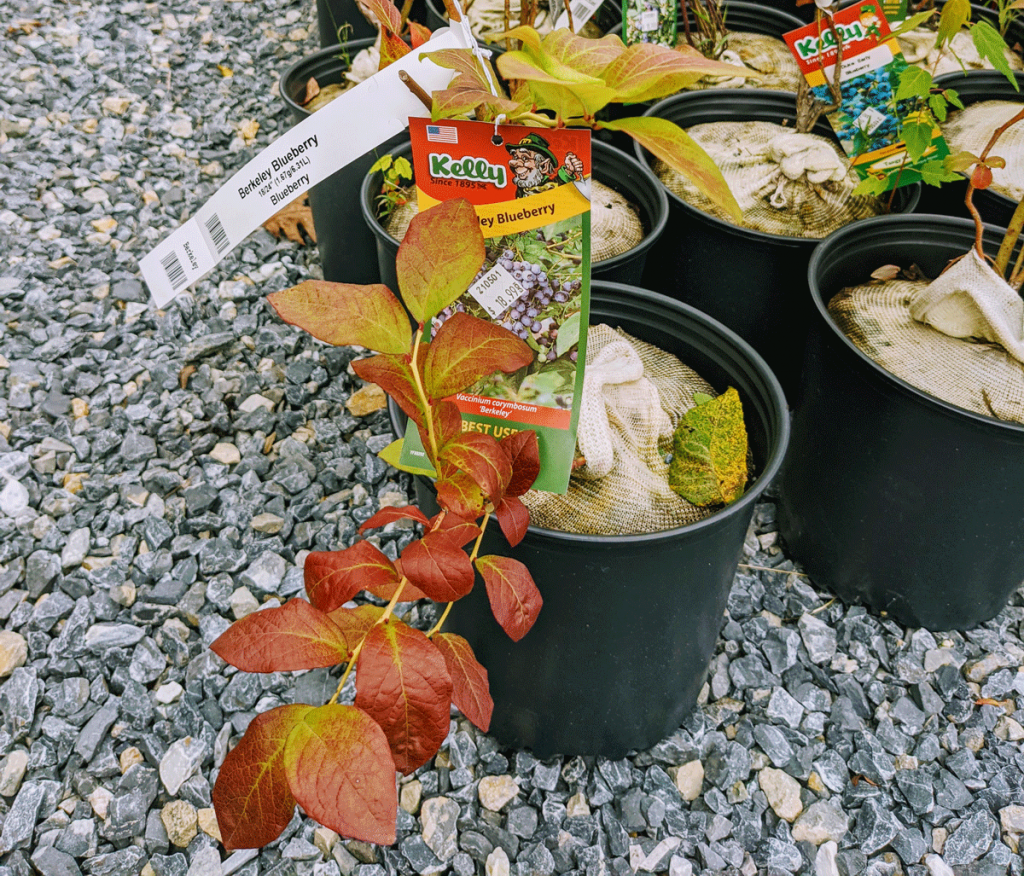 Blueberry Bushes for What to Plant in October in PA Zone 6, from Agway