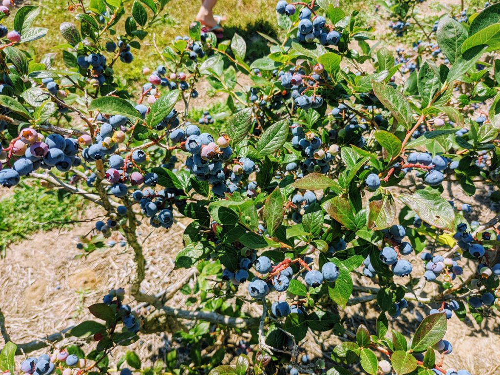 Blueberry bush loaded with berries