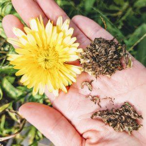 Calendula Seeds | Harvesting Calendula Seeds – 8 Steps