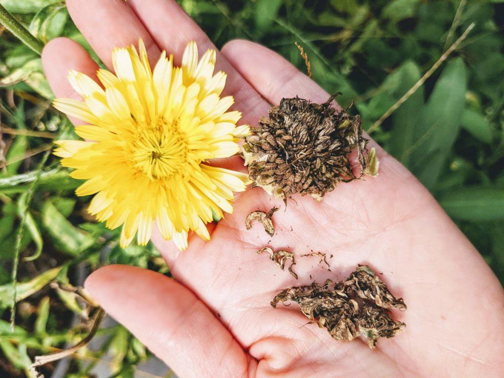 Hand holding Calendula Seeds and yellow calendula flower