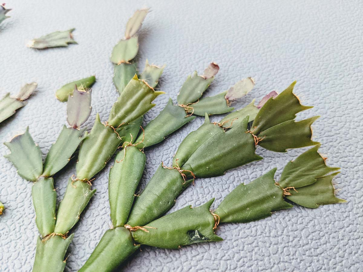 Christmas Cactus Cutting on Gray Background