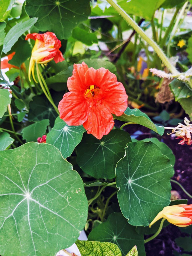 Insect inside a Coral Nasturtium Flower