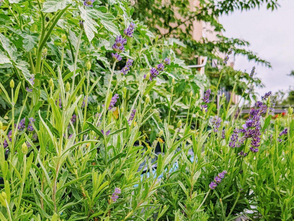 Growing Lavender - Choosing the Best Lavender Companion Plants
