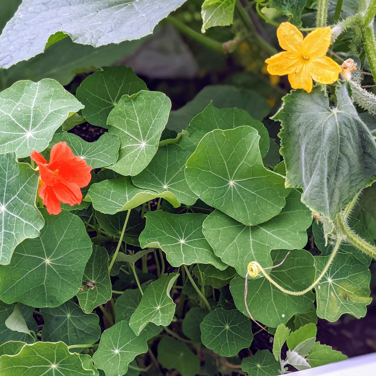 Growing Nasturtium in Vegetable Garden Spaces