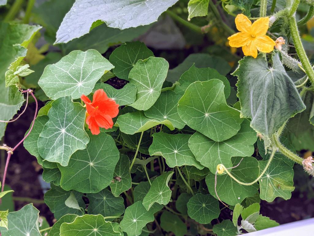 Growing Nasturtium in Vegetable Garden with Cucumbers