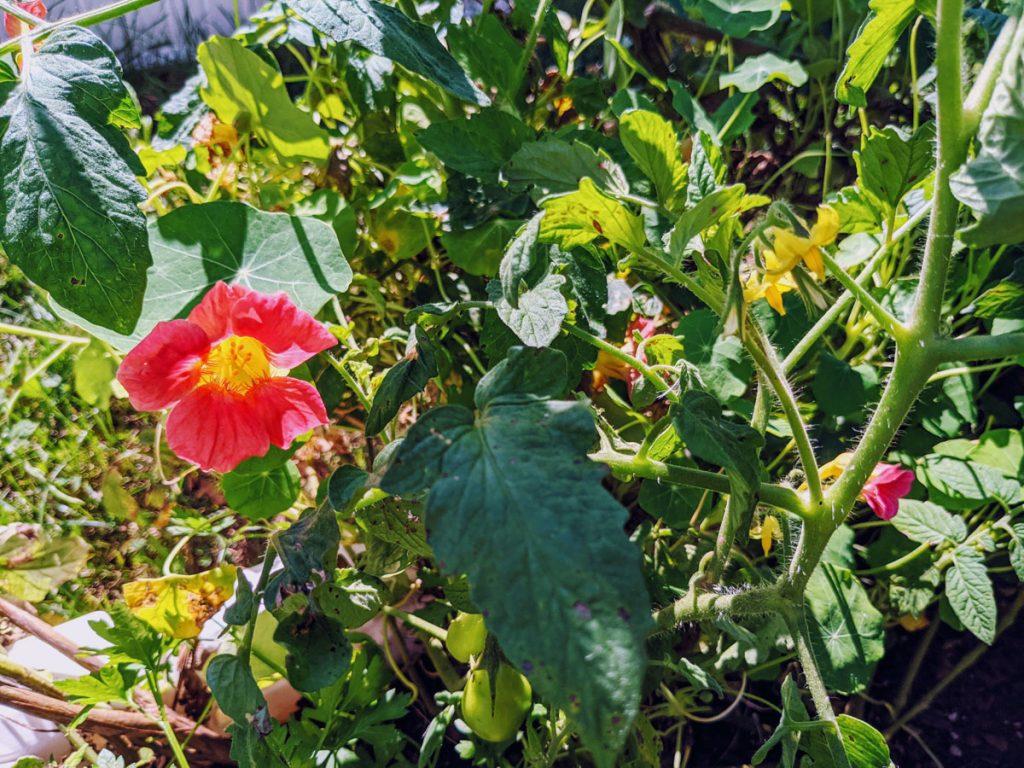 Growing Nasturtium and Tomatoes in Veggie Garden