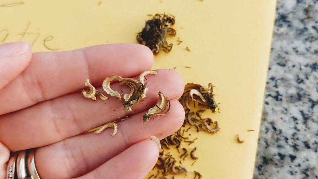 Holding calendula seeds we collected from the garden