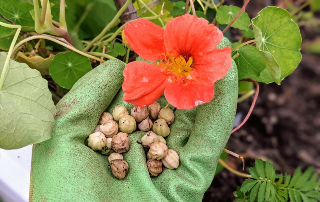 Harvesting Nasturtium Seeds - Green Gardening Glove Hand Holding Seeds Near Coral Nasturtium Flower