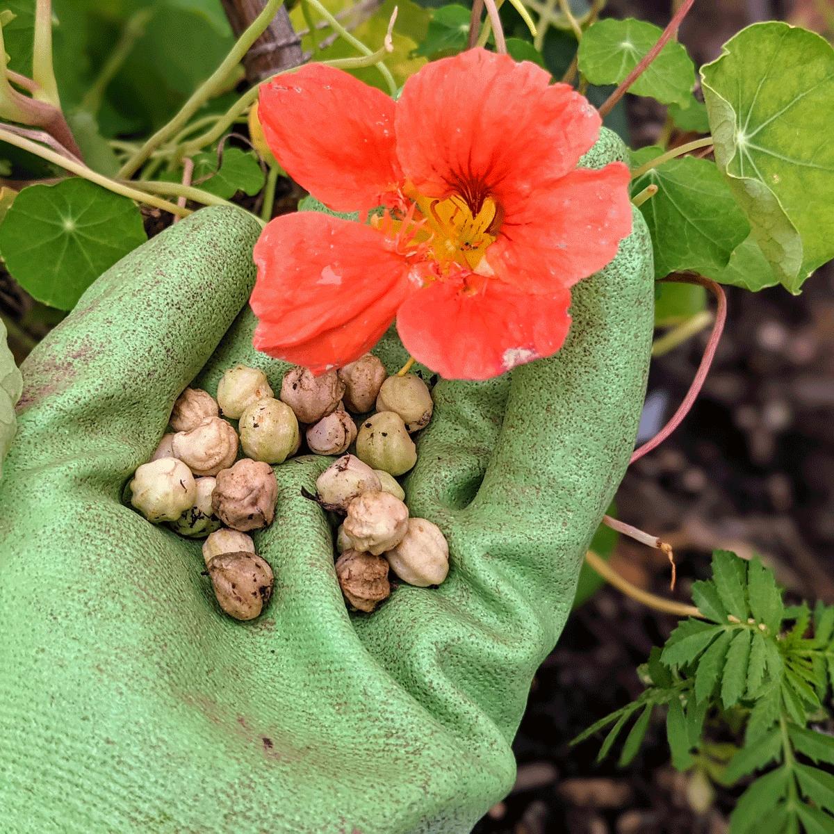 Harvesting Nasturtium Seeds | 4 Easy and Fun Steps